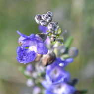 Buy Rosmarinus officinalis 'Primley Blue' Rosemary Primley Blue   Buy Herb Plant Online in 1 Litre Pot