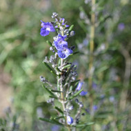 Buy Rosmarinus officinalis 'Severn Seas' Rosemary Severn Seas | Herb Plant for Sale in 1 Litre Pot