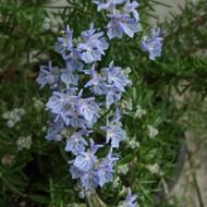 Buy Rosmarinus officinalis 'Sudbury Blue' Rosemary Sudbury Blue | Herb Plant for Sale in 1 Litre Pot