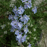 Buy Rosmarinus officinalis 'Sudbury Blue' Rosemary Sudbury Blue | Herb Plant for Sale in 1 Litre Pot