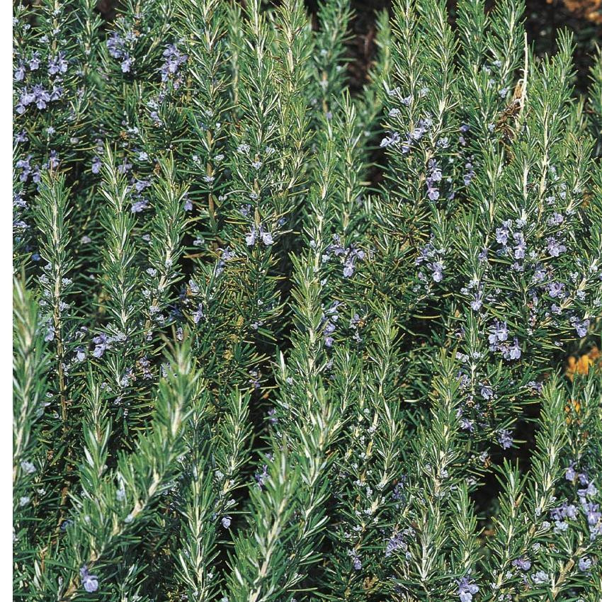 Picture of Live Upright Rosemary aka Rosmarinus off. 'Tuscan Blue' Plant Fit 1 Gallon Pot