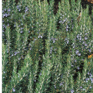 Buy Rosmarinus officinalis 'Tuscan Blue' Rosemary Tuscan Blue   Herb Plant for Sale in 1 Litre Pot