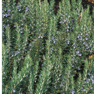 Buy Rosmarinus officinalis 'Tuscan Blue' Rosemary Tuscan Blue | Herb Plant for Sale in 1 Litre Pot