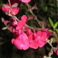 Buy Salvia jamensis 'Raspberry Royale' Sage Raspberry Royale | Herb Plant for Sale in 1 Litre Pot