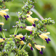 Buy Salvia Bulleyana 'Sage Bulley'   Herb Plant for Sale in 1 Litre Pot