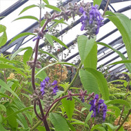 Salvia Nutans |Nodding Sage|Herb Plant for sale in 1 Litre Pot|Buy Online