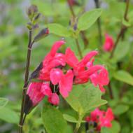 "Buy Salvia sp. ""Hooksgreen"" Sage Hooksgreen   Herb Plant for Sale in 1 Litre Pot"