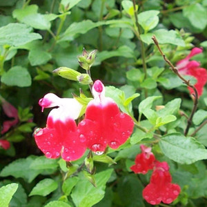 Buy Salvia x jamensis 'Hot Lips' Sage Hot Lips | Herb Plant for Sale in 1 Litre Pot