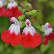 Buy Salvia x jamensis 'Hot Lips' Sage Hot Lips   Buy Herb Plant Online in 1 Litre Pot