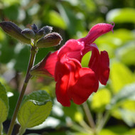 Buy Salvia microphylla 'Kew Red' Sage Kew Red | Buy Herb Plant Online in 1 Litre Pot