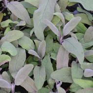 Buy Salvia officinalis 'Purpurascens' Sage Purple| Herb Plant for Sale in 9cm Pot