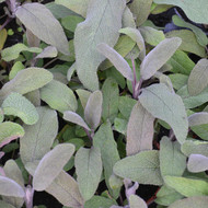 Buy Salvia officinalis 'Purpurascens' Sage Purple| Herb Plant for Sale in 9cm Pot