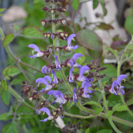 Buy Salvia miltiorrhiza 'Sage Red' | Herb Plant for Sale in 1 Litre Pot