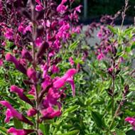 Sage Icing Sugar | Salvia greggii 'Icing Sugar' | Sage Herb Plants Online