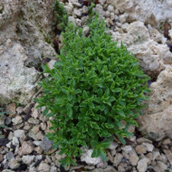 Buy Satureja spicigera 'Savory Creeping' | Herb Plant for Sale in 1 Litre Pot