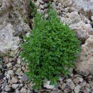 Buy Satureja spicigera 'Savory Creeping' | Herb Plant for Sale in 1 Litre Pot