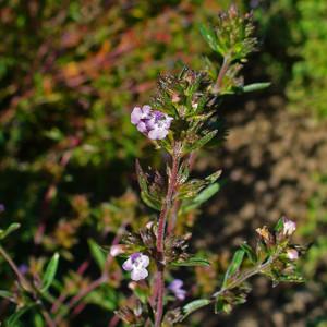 Buy Satureja hortensi 'Savory Summer' | Herb Plant for Sale in 9cm Pot