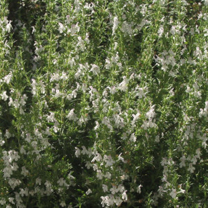 Buy Satureja montana 'Savory Winter' | Herb Plant for Sale in 1 Litre Pot