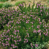 Buy Satureja montana ssp. illyrica 'Savory Winter Purple'| Herb Plant for Sale in 1 Litre Pot