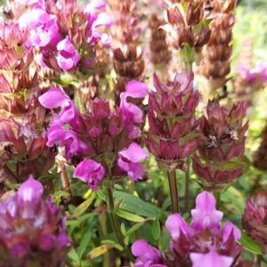 Prunella vulgaris 'selfheal' Selfheal Rose Pearl Herb Plant
