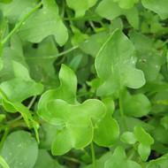 Buy Rumex scutatus 'Sorrel Buckler-Leaf'   Herb Plant for Sale in 9cm Pot