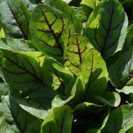 Buy Rumex sanguineus 'Red-Veined Sorrel' | Herb Plant for Sale in 9cm Pot