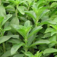 Buy Stevia rebaudiana 'Stevia'   Buy Herb Plant Online in 9cm Pot