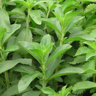 Buy Stevia rebaudiana 'Stevia' | Buy Herb Plant Online in 9cm Pot