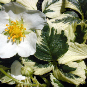Buy Fragaria x ananassa 'Variegata' Strawberry Variegated | Herb Plant for Sale in 9cm Pot