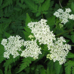 Buy Myrrhis odorata 'Sweet Cicely' | Buy Herb Plant Online in 1 Litre Pot