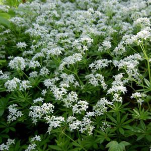 Buy Galium odoratum 'Sweet Woodruff' | Herb Plant for Sale in 9cm Pot
