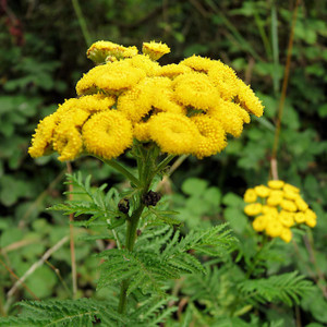 Buy Tanacetum vulgare 'Tansy' | Herb Plant for Sale in 1 Litre Pot