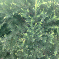 Buy Melaleuca alternifolia 'Tea Tree' | Herb Plant for Sale in 9cm Pot