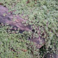Buy Thymus pseudolanuginosu 'Thyme Woolly' | Buy Herb Plant Online in 9cm Pot