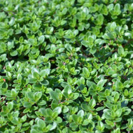 Buy Prostrate Thyme (Thymus prostratus) | Herb Plants for Sale