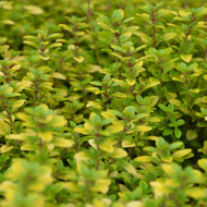 Buy Thymus pulegioides 'Archers Gold' Thyme Archers Gold | Herb Plant for Sale in 9cm Pot