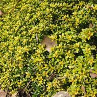 Buy Thymus citriodorus 'Bertram Anderson' Thyme Bertram Anderson | Herb Plant for Sale in 9cm Pot