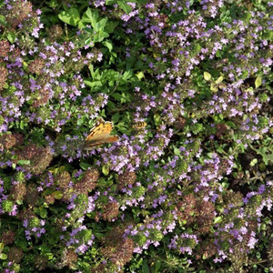 Buy Thymus pulegioides 'Thyme Broad Leaved'   Herb Plant for Sale in 9cm Pot