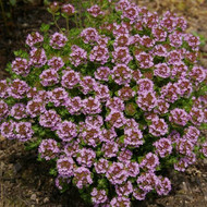 Buy Thymus camphoratu 'Thyme Camphor'   Herb Plant for Sale in 9cm Pot