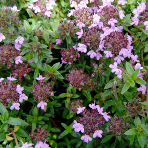 Buy Thymus herba-barona 'Thyme Carraway' | Herb Plant for Sale in 9cm Pot