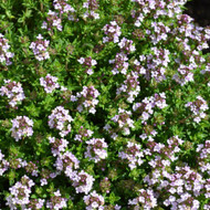 Buy Thymus vulgaris 'Compactus' Thyme Compact | Herb Plant for Sale in 9cm Pot