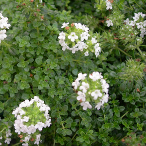 Buy Thymus serpyllum var. 'albus' Thyme Creeping White | Potted Herb Plant | Hooksgreen Herbs