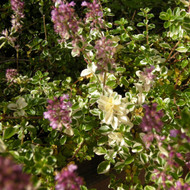 Buy Thymus pulegioides 'Foxley' Thyme Foxley | Herb Plant for Sale in 9cm Pot