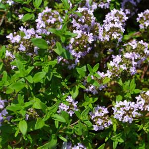 Buy Iden Thyme (Thymus serpyllium 'Iden')   Herb Plants for Sale