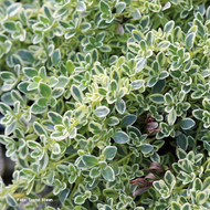 Buy Thymus 'Hartington Silver' Thyme Hartington Silver | Herb Plant for Sale in 9cm Pot