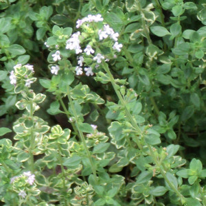 Buy  Lemon Thyme (Thymus x  citriodorus) | Herb Plants for Sale
