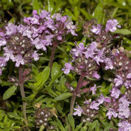 Buy Thymus serpyllum 'Lemon Curd' Thyme Lemon Curd | Herb Plant for Sale in 9cm Pot