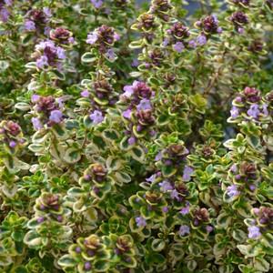 Buy Thymus 'Lemon Variegated' Thyme Lemon Variegated   Herb Plant for Sale in 9cm Pot