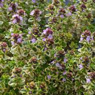 Buy Thymus 'Lemon Variegated' Thyme Lemon Variegated | Herb Plant for Sale in 9cm Pot