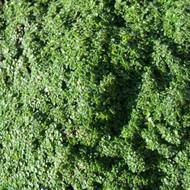 Buy Thymus serpyllum 'Minor' Thyme Minimis   Herb Plant for Sale in 9cm Pot
